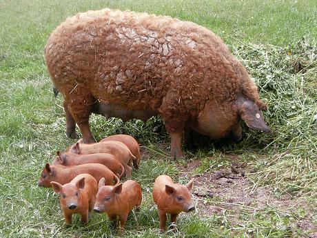 Mangalița - porcul cu blană, porcul cu lână creață sau porcul-somon